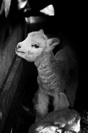 An image of a newborn lamb in black and white.  Stock Photo