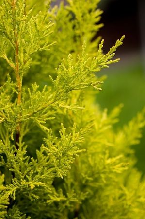 foiliage: Macro Image of Pine Tree  Stock Photo