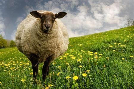 Ewe standing in a beautiful dandelion field.  Stock Photo