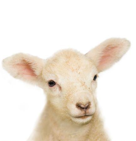 Close-up of a lambs face.