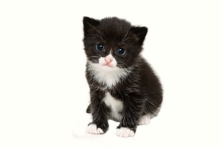 three week old tuxedo kitten,