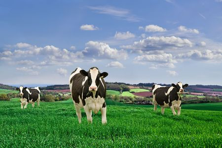 Friesian Dairy Cows in a rural setting.