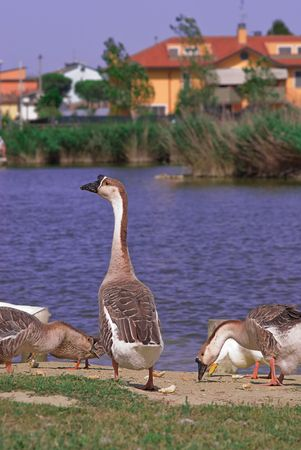Young Swan Goose looking at river. Stock Photo - 5344713