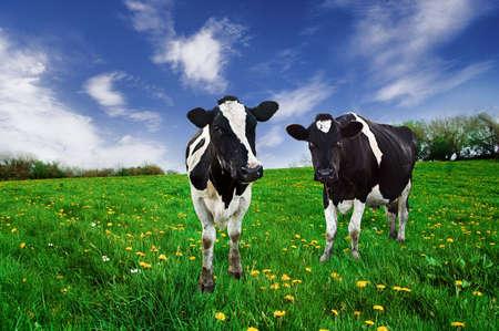 cattle: Vacas lecheras de Friesain en una pastura.