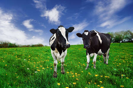 boeufs: Vaches laiti�res Friesian dans un p�turage.
