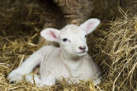 Newborn Spring Lamb laying in hay.