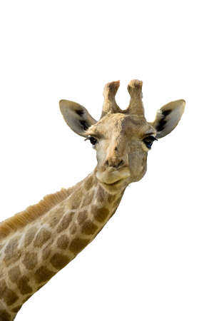 Giraffe head and neck over a white background Stock Photo