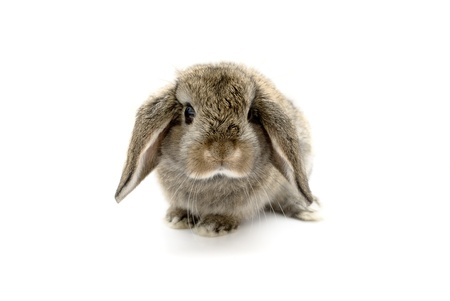 Adorable five week old baby lop eared rabbit. Stock Photo - 13049482