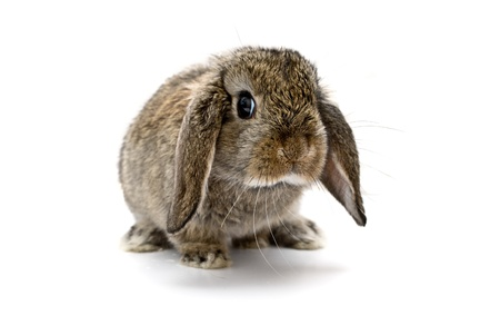 Adorable baby lop eared rabbit.