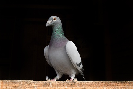 Racing Pigeon perched on wood. Stock Photo