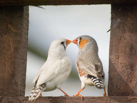 animal mating: Male and Female Zebra Finches sitting on a wooden fence. Stock Photo