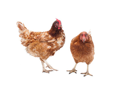Two battery hens