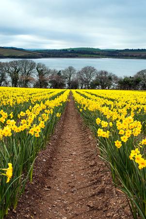 Daffodil Farm in East Cornwall, UK