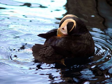 squawk: Puffin swimming Stock Photo