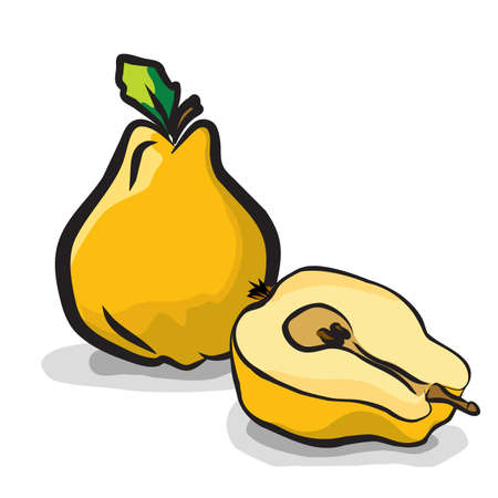membrillo: Quince frutos boceto conjunto de dibujo vectorial