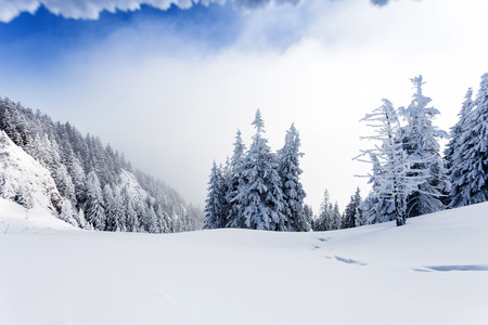 Pine forest covered in snow on winter season - Poiana Brasov photo
