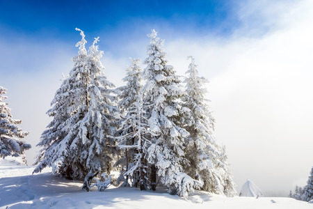 hristmas: Pine trees covered in snow on winter season in Poiana Brasov, Romania Stock Photo