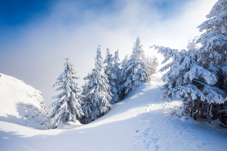 snow covered mountain: Pine trees covered in snow on winter season in Poiana Brasov, Romania Stock Photo