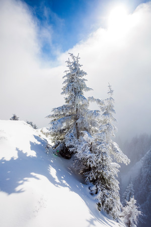 Pine trees covered in snow on winter season in Poiana Brasov, Romania photo