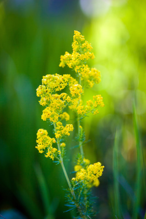 fever plant: Blooming goldenrod flower on green meadow Stock Photo