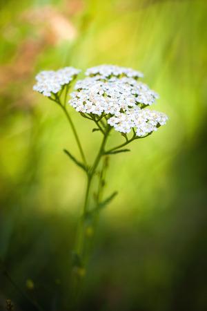 milfoil: Achillea millefolium (yarrow) white wild flower on green meadow Stock Photo
