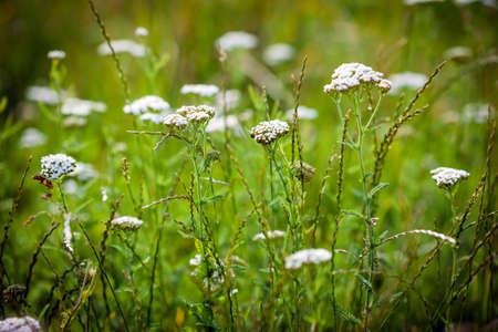 Achillea millefolium (yarrow) white wild flower on green meadow photo