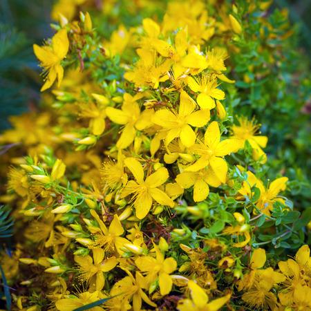 wart: Green grashopper on yellow St Johns flowers Stock Photo