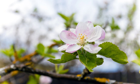 Blooming white apple tree with shallow depth of field photo