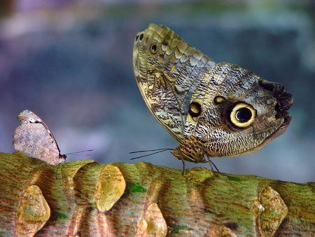 unfairness: A butterflies battle Stock Photo