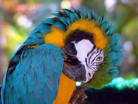 parot: Green parrot doing his toilet