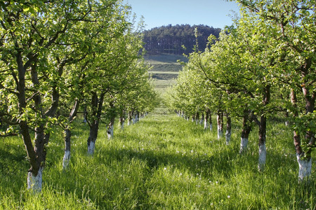 Alley trough an apple orchard
