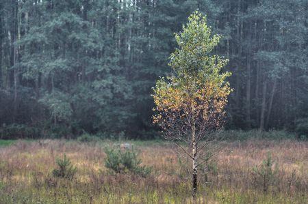 betula: Single birch growing up ahead forest. Betula pendula. Stock Photo