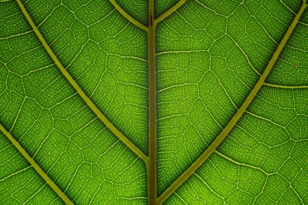 Innerwation of green leaf as abstract background. Extreme macro. Stock Photo