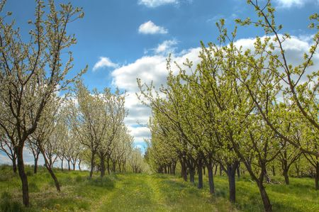 Rows of plum trees during blooming. Spring orchard.