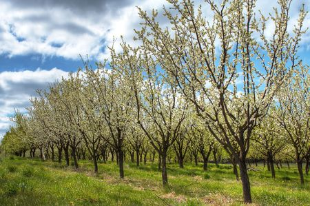 Rows of apple trees during blooming. Spring orchard. Stock Photo - 923723