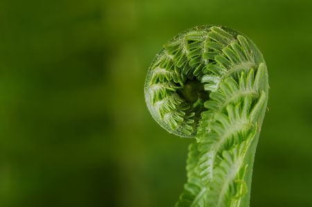 unfold: Single young fern unfolding against blurry green background. Stock Photo