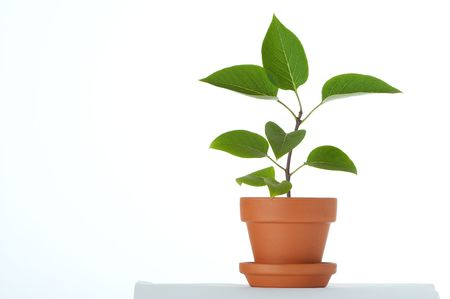 Little plant in small flower pot. Isolated on white background. Space for text.