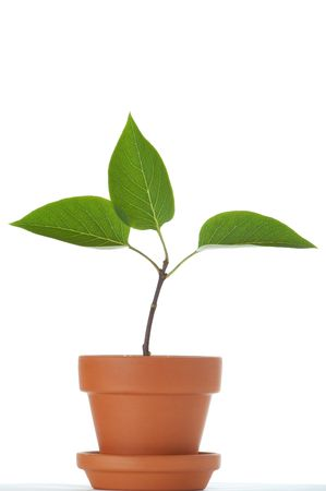 Little plant with three leaves in small flower pot. Isolated on white background. Space for text. Stock Photo