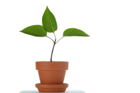 plant in small flower pot. Isolated on white background. Space for text. Stock Photo