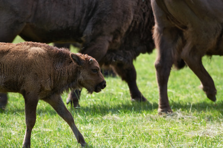 kine: Young bison between herd of bisons in polish national park.