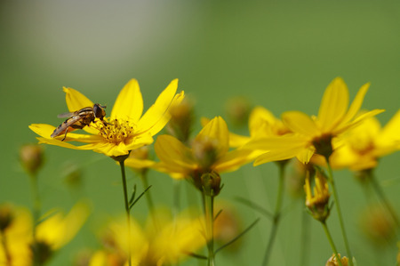 Bee sitting on yellow flower against green background. Shallow DOF. Stock Photo - 1528260