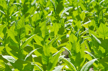 shallow dof: Green tobacco plant as natural background. Shallow DOF. Stock Photo