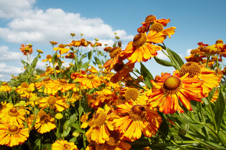 season specific: Close up of bouquet red-yellow flowers against blue sky and white clouds.