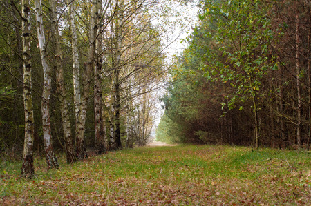 road autumnal: View of forest road with autumnal birches on left. In autumn series. Stock Photo