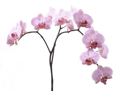 Branch of pink orchid isolated on white background. Space for text.