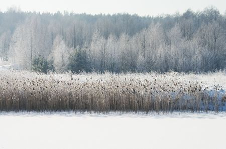 snowlandscape: View of frozen reeds and trees. Landscape covered with snow. Winter scene.
