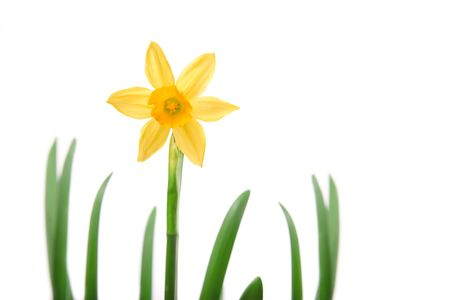 Yellow daffodil flower close-up against white background. Stock Photo