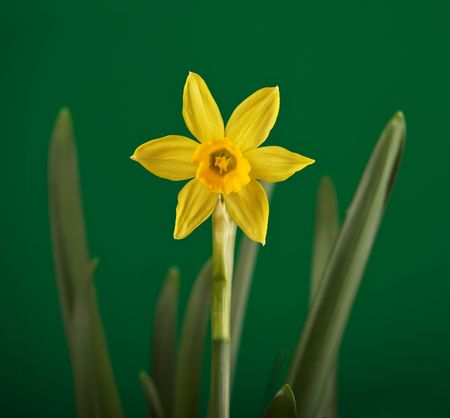 season specific: Yellow daffodil flower close-up against green background.