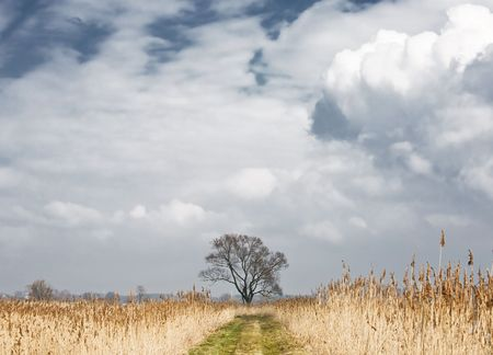 Single tree against dry yellow canes. Blue sky and white clouds. photo