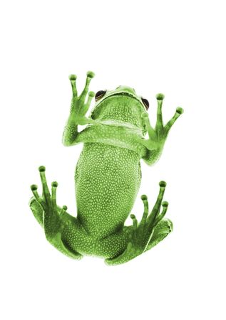 Bottom view of green Tree Frog. Isolated on white background. Shallow DOF. Stock Photo - 4231701